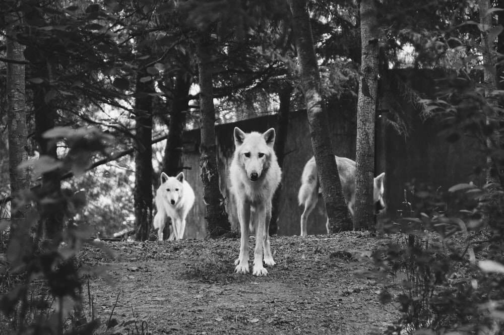 leading the wolf pack